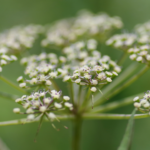 推古天皇の時代から薬草として使われてきた大和当帰(ヤマトトウキ)とは?